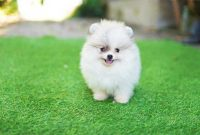 Teacup Pomeranian Puppies for $500