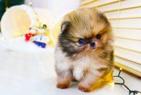 Teacup Pomeranian Puppies for Sale $250