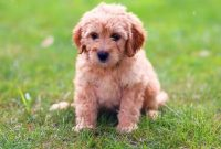 Goldendoodle Free to Good Home