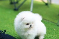 Teacup Pomeranian for Adoption